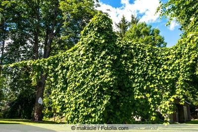 Pfeifenwinde - Aristolochia