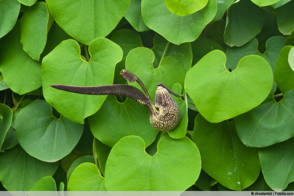 Pfeifenwinde - Aristolochia ringens