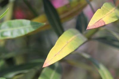 Oleander mit gelben Blättern und braunen Flecken