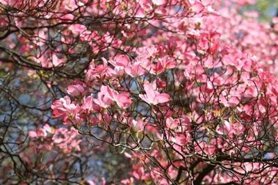 Amerikanischer Blumenhartriegel - Cornus florida 'Rubra'