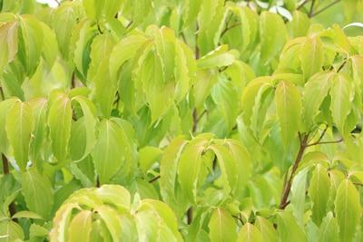 Japanischer Blumenhartriegel - Cornus kousa