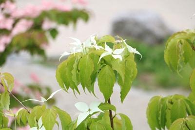 Blüte des Cornus kousa