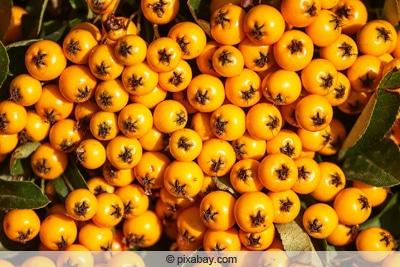 Feuerdorn mit orangen Früchten