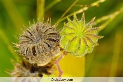 Früchte der Schönmalve