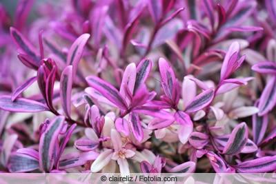 Blüten der Strauchveronika in Nahaufnahme