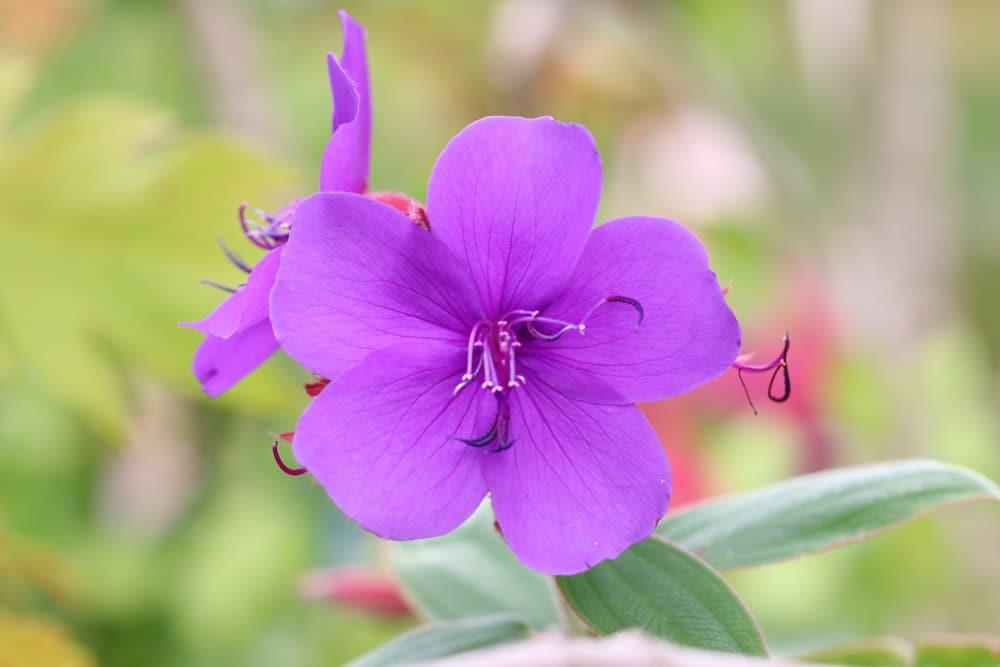 Tibouchina urvilleana - Prinzessinnenblume