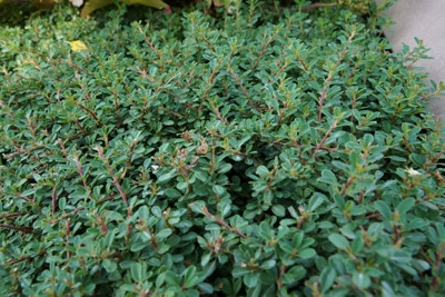 Teppichmispel - Cotoneaster
