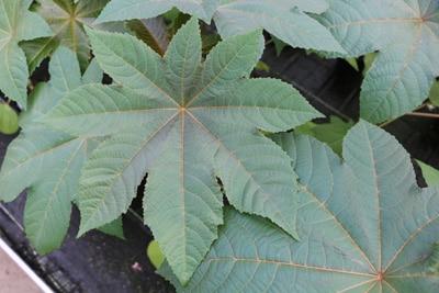 Wunderbaum - Ricinus communis