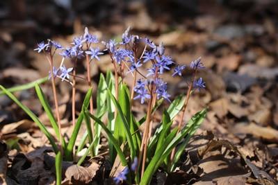 Zweiblättriger Blaustern - Scilla bifolia