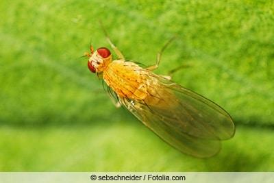 Fruchtfliege - Taufliege - Drosophila melanogaster
