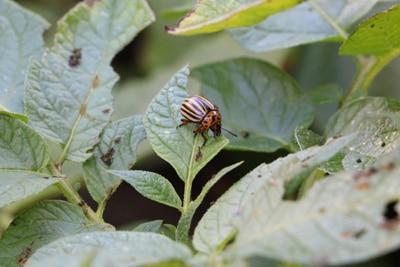 Käfer-Arten - Kartoffelkäfer