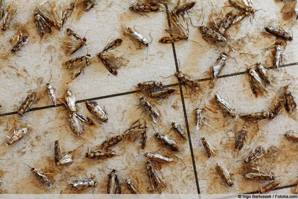 Kleidermotten an Pheromonfalle