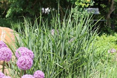 Chinaschilf - Miscanthus sinensis purpurascens