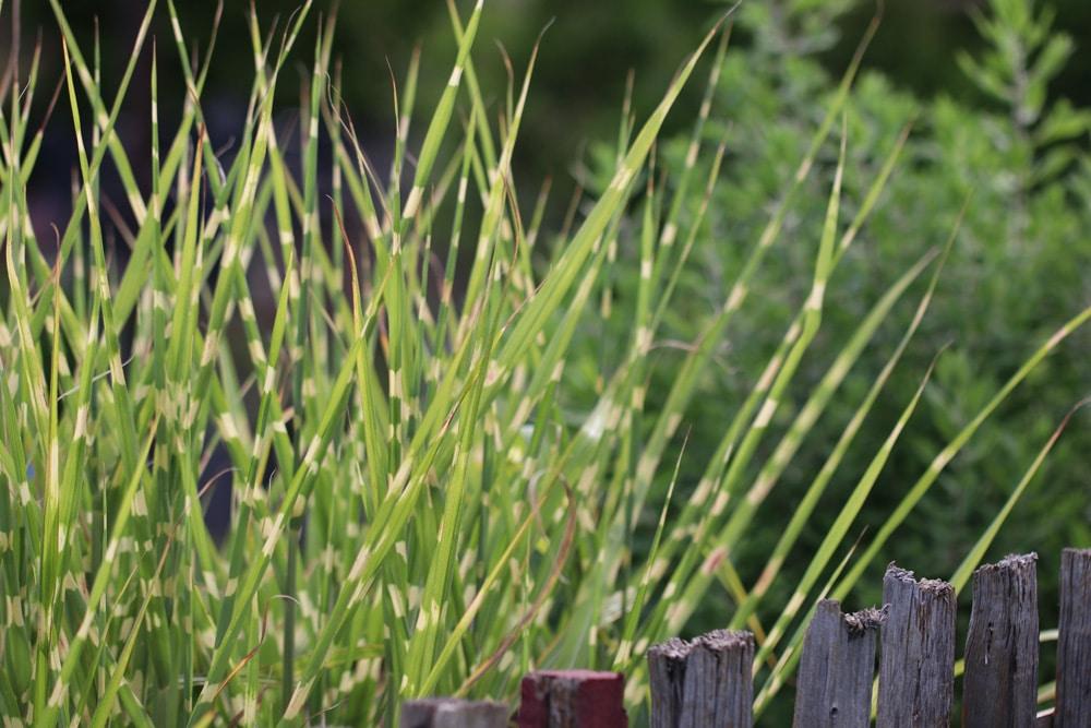 Zebragras - Miscanthus sinensis
