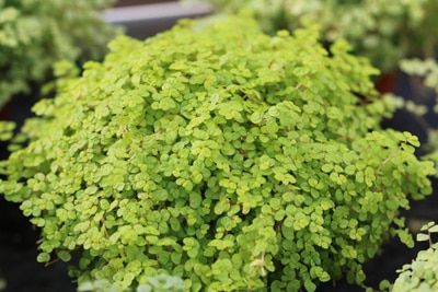 Bubikopf - Solerolia solerolii