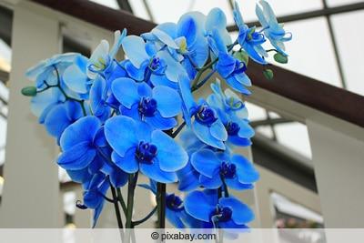 Blaue Orchideen