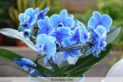 Blaue Orchideen im Topf