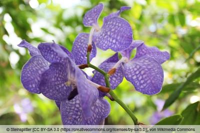 Orchidee 'Vanda coerulea'