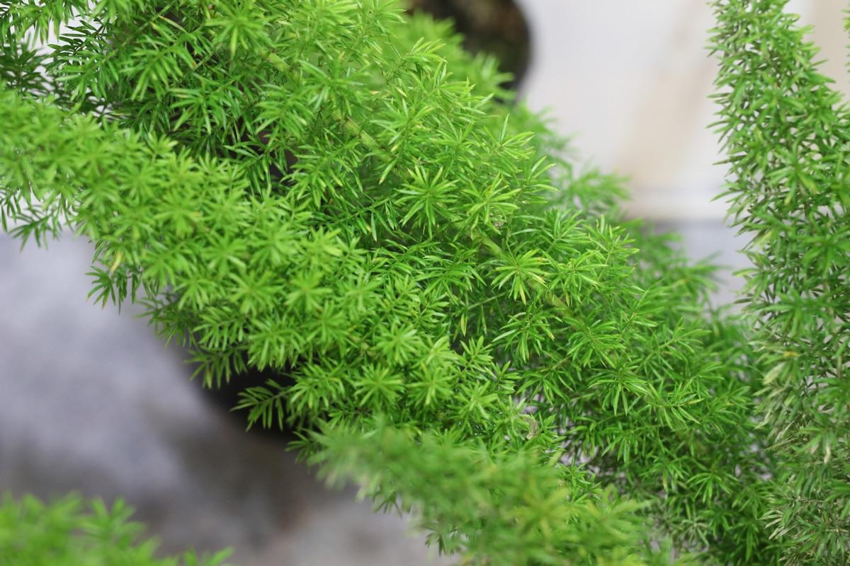 Zierspargel - Asparagus densiflorus meyeri