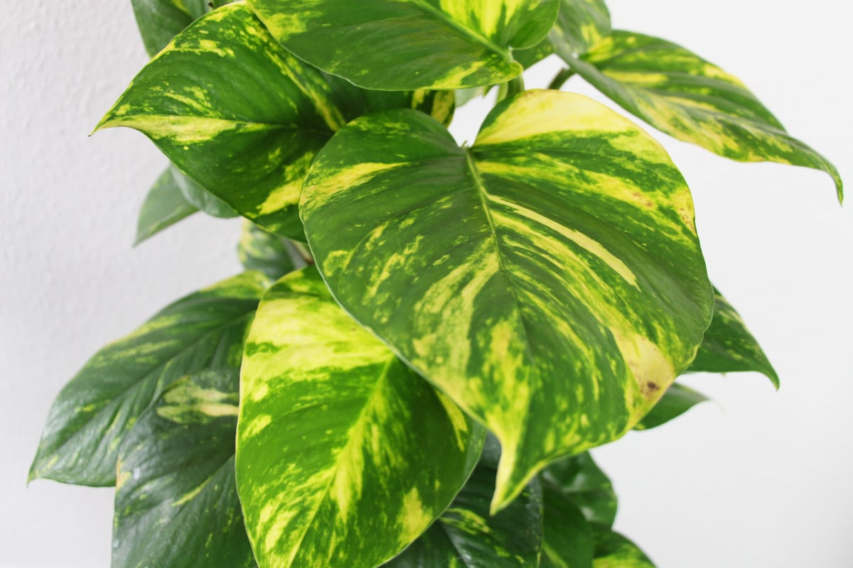 Zimmerpflanzen für dunkle Standorte - Efeutute