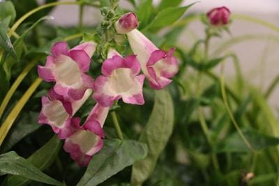 Bartfaden - Penstemon 'pentastic pink'