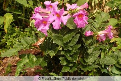 Gloxinie - Incarvillea delavayi