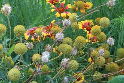 Kokardenblume - Gaillardia aristada