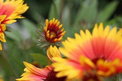 Kokardenblume - Gaillardia aristada 'sunset mexican'