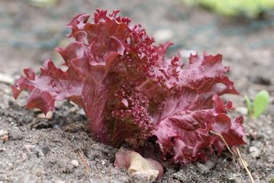 Lollo Rosso - Schnittsalat