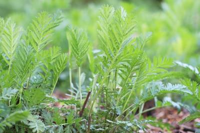 Rainfarn - Tanacetum vulgare