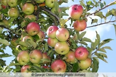 McIntosh Apfel an Baum