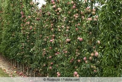 Säulenapfel mit Früchten