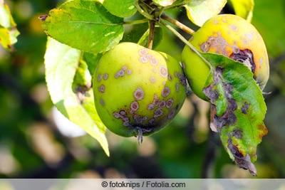 Apfelschorf an Baum und Früchten