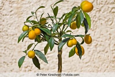 Calamondin-Orange - Citrofortunella mitis