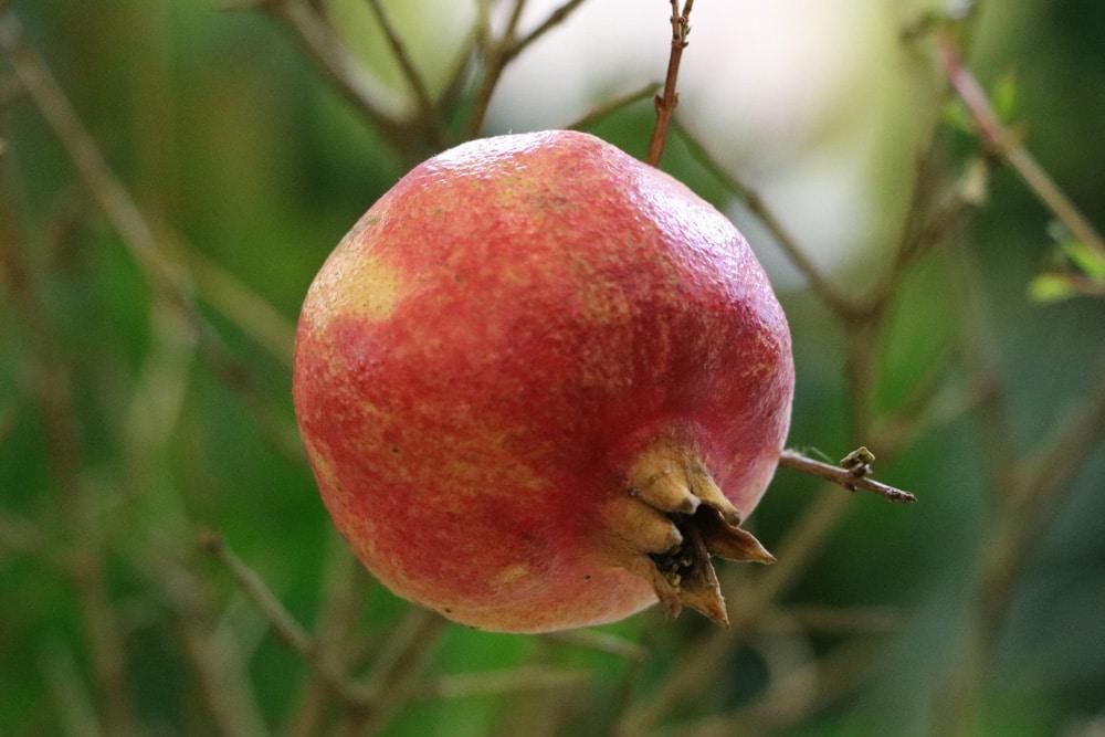 Granatapfelbaum - Punica granatum