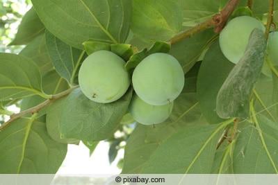 Unreife Früchte an Kaki-Baum