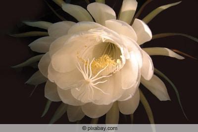 Königin der Nacht - Selenicereus grandiflorus