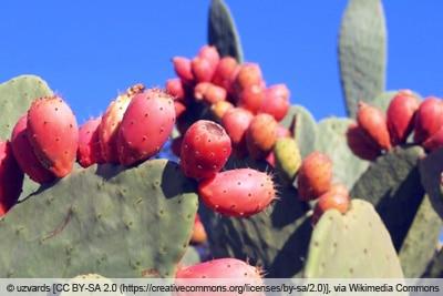 Feigenkaktus mit Früchten
