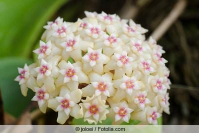 Wachsblume - Hoya weißblühend