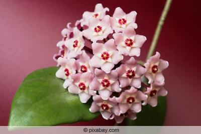 Wachsblume als Zimmerpflanze