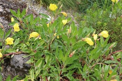 Polster-Nachtkerze - Oenothera macrocarpa