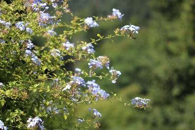 Bleiwurz - Plumbago auriculata