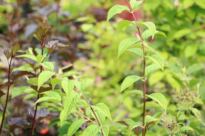 Deutzia hybrida 'Mont Rose' - Rosendeutzie