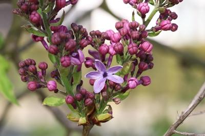 Edelflieder - Syringa vulgaris 'Ruhm von Hortenstein'