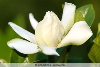 Gardenie - Gardenia