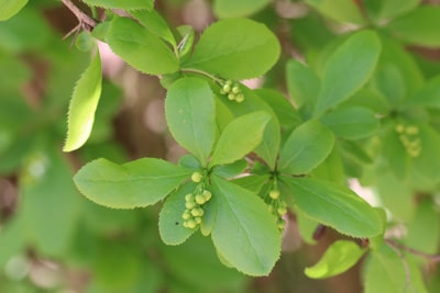 Gewöhnliche Berberitze - Berberis vulgaris