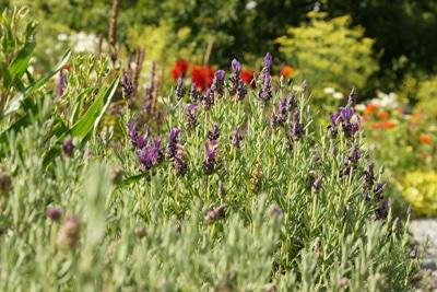 Schopf-Lavendel in der Sonne