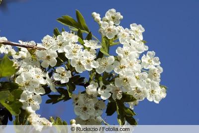 Blüten des Weißdorns