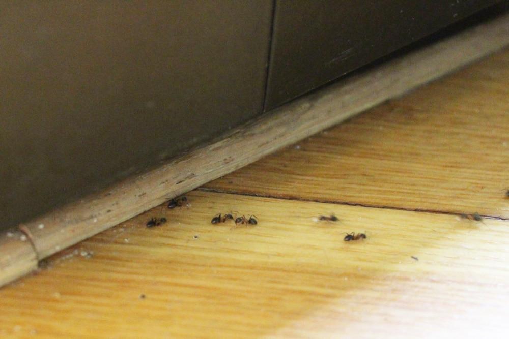 Ameisenbekämpfung - biologische Mittel für Haus und Rasen ...
