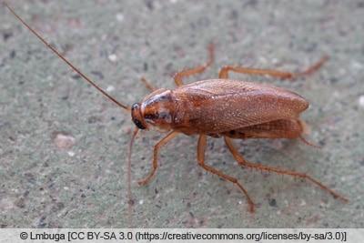 Deutsche Schabe - Blattodea cascuda